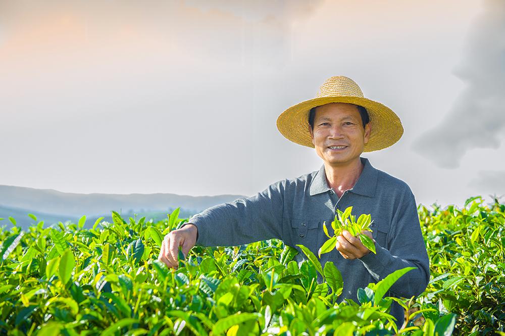 Thé, Chine, Producteur de thé
