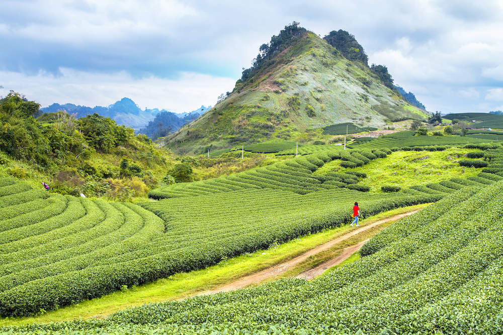 Vietnam, Moc Chau tea hill, Moc Chau village, producteur de thé