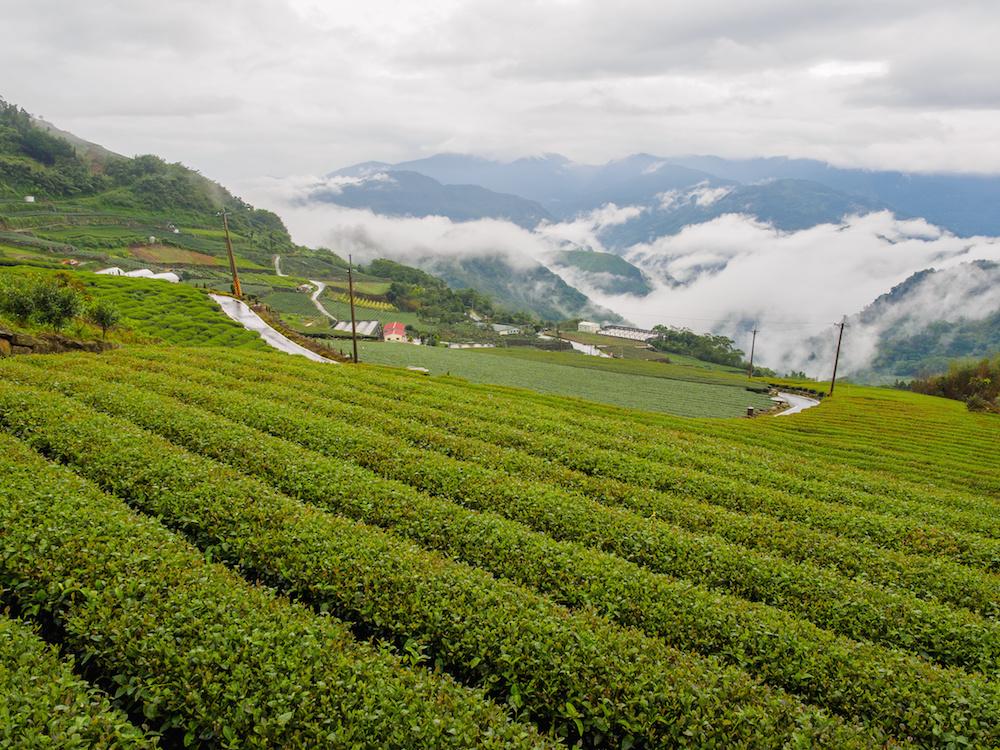 Taïwan, producteur de thé, thé vert, noir, Lapsang souchong