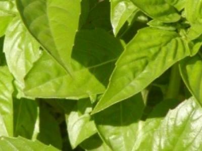 Basilic Genovese, biologique, semence