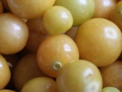 Cerise de terre Golden Husk, biologique, semence