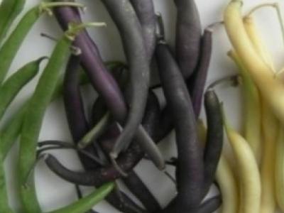 Haricot nain en mélange, biologique, semence