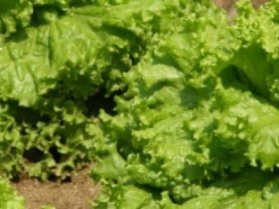 Laitue Black Seeded Simpson, biologique, semence