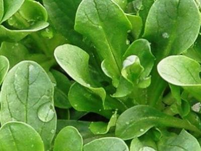 mâche verte, biologique, semence