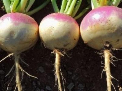 Navet blanc à collet violet, biologique, semence