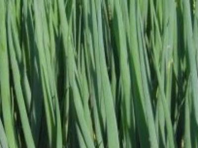 Oignon à botteler Parade, biologique, semence