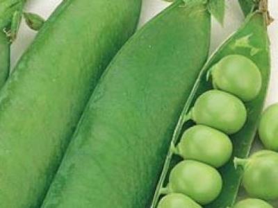 Pois à écosser Green Arrow, biologique, semence