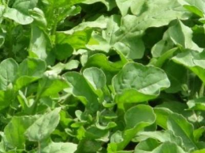 Roquette de jardin, biologique, semence