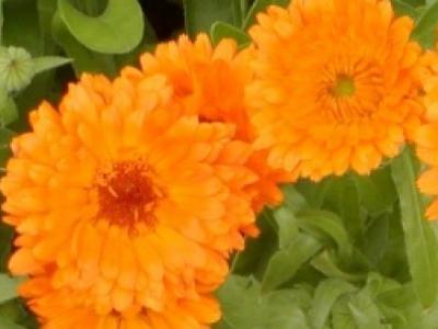 Souci officinal de jardin, biologique, semence