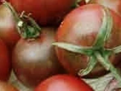Tomate cerise Black Cherry, biologique, semence