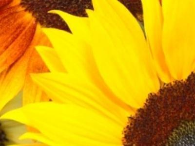 Tournesol d'ornement, biologique, semence